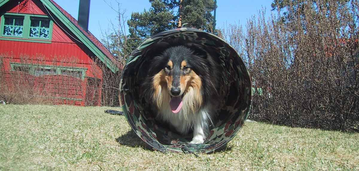Ringo in Agility Tunnel