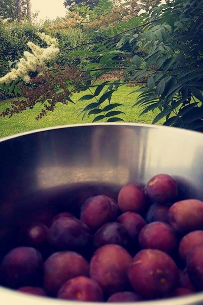 4Roald - Plums from plum tree 08-15